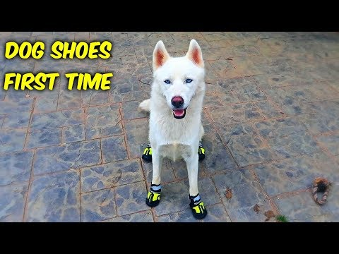 Xxx Mp4 Huskies Trying Dog Shoes For The First Time Funny Dogs 3gp Sex