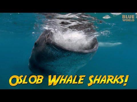 Xxx Mp4 Philippines Whale Sharks JONATHAN BIRD S BLUE WORLD 3gp Sex
