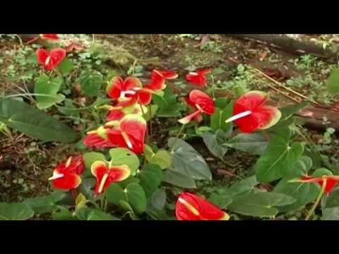 Cómo cultivar Anturios TvAgro por Juan Gonzalo Angel