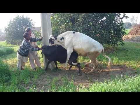 Xxx Mp4 Cow Mating Monster Bull Vs Shorty Heifer 3gp Sex