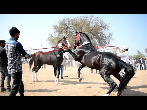Mega Ashwa show Breeding Stallion horse ring show 2018