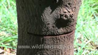 Sandalwood or Santalum Album or Sreegandha chandan-The fragrant wood