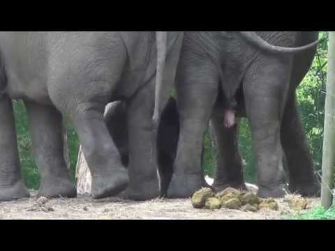 Diergaarde Blijdorp - the day after, 16e elephant was born (8)