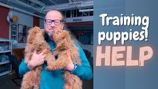 Training puppies! HELP   How we do it   Solid K9 Training Dog Training