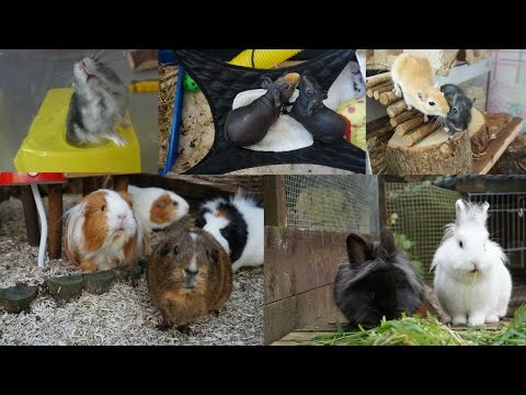 Afternoon Evening Pet Routine Guinea Pigs Rabbits Gerbils & Hamster