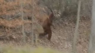 GIANT Bigfoot Sighting Caught on Cam 2016 (Real Sasquatch Proof/Evidence)