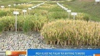 NTG: Mga klase ng palay na kayang tumubo kahit tagtuyot o sa baha, nilikha