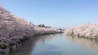 弘前さくらまつり 2016/青森県弘前市 (2016年4月24日)