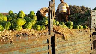 Algérie Maroc : Abondance de pastèques