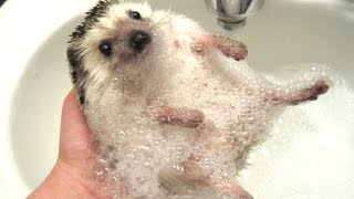 Cute And Funny Hedgehog Videos Compilation 2014 [NEW]