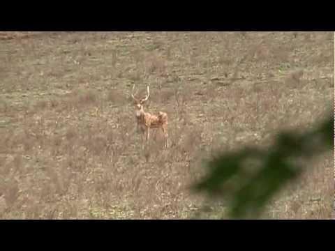 ciervo axis cazado