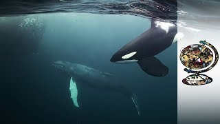 Orcas Co-Exist With Norway
