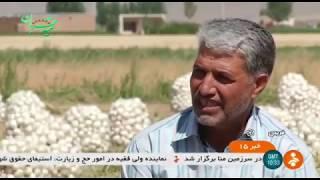 Iran Organic White onion harvest, GAP Certification, Summer 1398 پياز سفيد ارگانيك تاييديه گپ