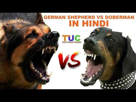 Xxx Mp4 German Shepherd Vs Doberman In Hindi Dog Comparison The Ultimate Channel 3gp Sex