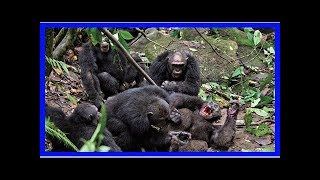 Why do chimps kill each other?