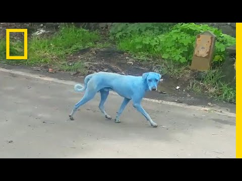 Blue Dogs Spotted in India—What's Causing It?   National Geographic
