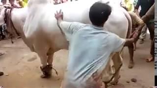 Beautiful White Nukra Bull Qurbani by Professional Qasai | Eid ul Adha 2017 | Bakra Eid 2017
