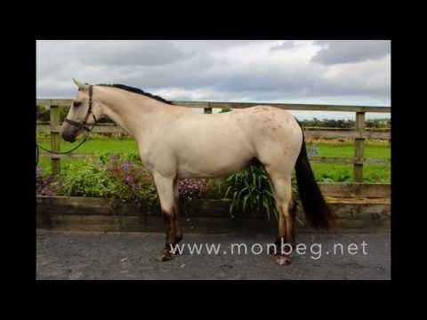 Irish Horses for sale - Monbeg - Rolo