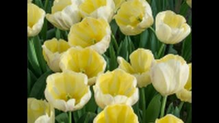 Triumph Tulips _ White Flower Farm