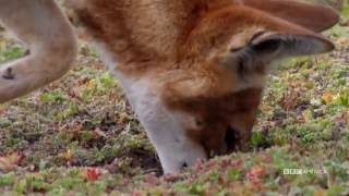 The Hunt - ETHIOPIAN WOLVES PLAY WHACK-A-MOLE (EP 5) - Sundays at 9|8c on BBC AMERICA