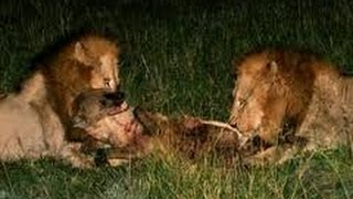 Brutal fight ! Two lions kill hyena with merciless attack !!