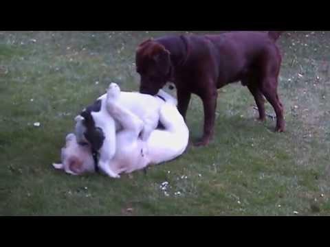 Gilbert French Bulldog havin' sex...or...?