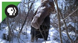Brain Parasite Turns Moose Into Zombie