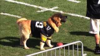 Air Bud Performs wih Steelers
