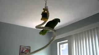 Pretty Girl the Amazon parrot sings dirty dancing tune AVI