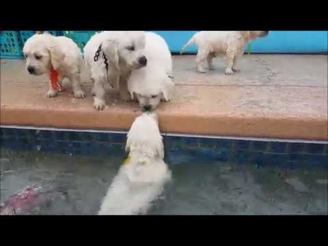 5 week old retriever puppies swim for first time
