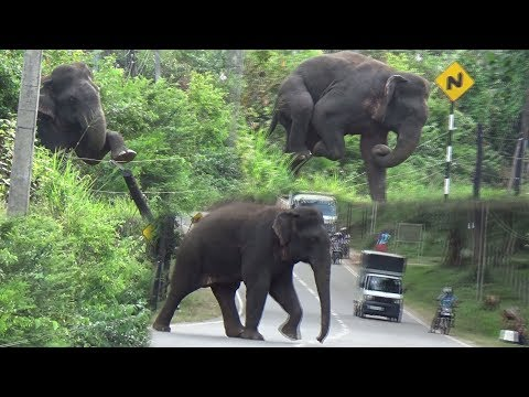 Wild elephant breaking an Electric fence