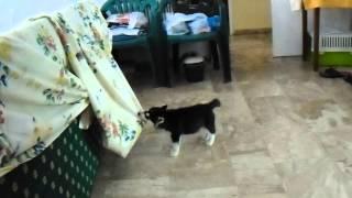 My Chiara in action (Siberian husky)