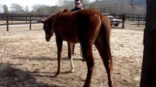 Arabian colt being gelded