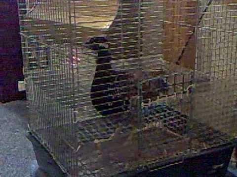 black francolin kala titar