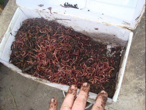 как разводить дождевых червей в домашних условиях для рыбалки видео