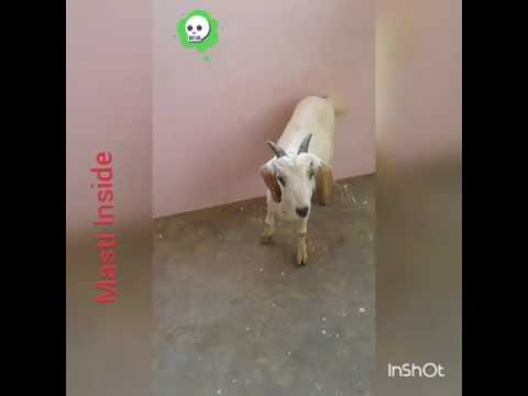 Funny Video A Goat Fucking By Gay.
