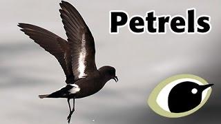 BTO Bird ID - Petrels