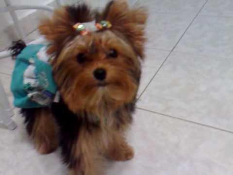 Yorkshire inteligente memorizou seus brinquedos Vicky Nina Yorkshire Terrier