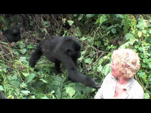 Xxx Mp4 Mountain Gorilla Close Encounter And Touching Woman While Tracking Safari Nkuringo Uganda 3gp Sex