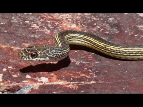 Little Girl Saved By Doberman From Poisonous Snake