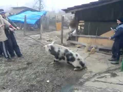 Klanje svinje Boki Lapovo