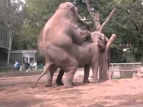 Xxx Mp4 Sexo Entre Elefantes Apareandose 3gp Sex
