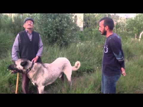 Kangal köpeklari panter soyu 1