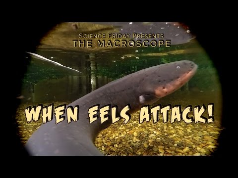 When Eels Attack