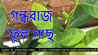 গন্ধরাজ ফুল গাছের পরিচর্যা আমরা কিভাবে করব|How To Grow Gandhraj Care And Tips | Gardenia Fower Plant
