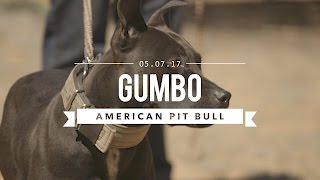GUMBO AN AMAZING AMERICAN PIT BULL TERRIER