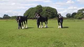 Wadworths Shire Horses on holiday 2015