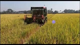 Cut paddy using machine