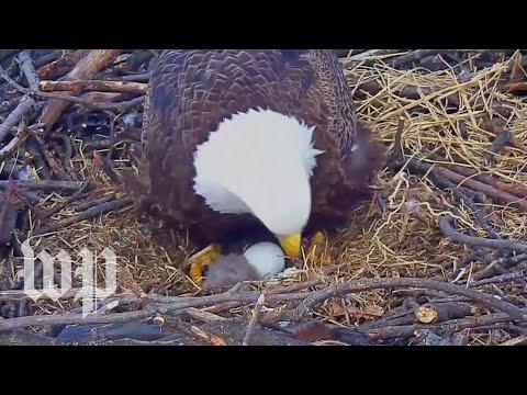 Xxx Mp4 Bald Eagle Hatches In D C 3gp Sex