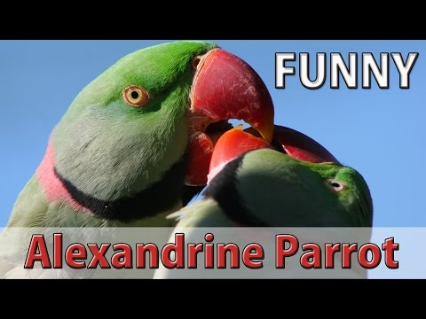 Funny Alexandrine Parrot Laughing and Speaking in Urdu/Hindi
